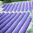 Stock Photo: Lavender field, Provence, France