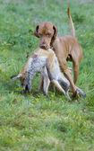 Cão de caça com um bom partido — Foto Stock
