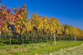 Vineyard in Czech Republic — Stock Photo