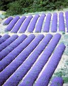 Lavender field, Provence, France — Stock Photo