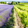 Lavender field with vineyard - Stock Photo