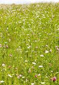 Prairie en fleur — Photo