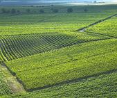 Vineyards in Velke Bilovice region, Czech Republic — Stock Photo
