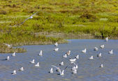 Sea gulls, Parc Regional de Camargue, Provence, France — Stock Photo