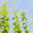 Stock Photo: Hops garden