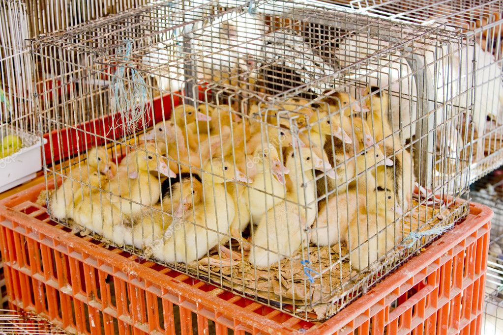 Ducklings at street market of Trancoso, Beira Province, Portugal — Stock Photo #3561369