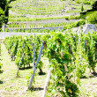 Stock Photo: Vineyard of Chateau Grillet, Rhone-Alpes, France
