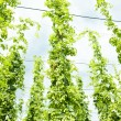 Hops garden, Czech Republci - Stock Photo