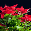 Poinsettia — Stock Photo #3639328