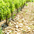 Vineyard in Provence — Stock Photo