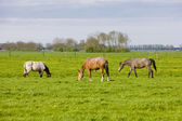Horses on meadow, Friesland, Netherlands — Stock Photo