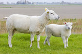 Sheep with a lamb — Stock Photo
