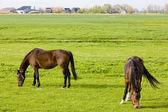 Horses on meadow — Stock Photo