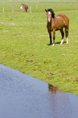 Horses on meadow, Netherlands — Stock Photo
