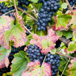 Grapevines in vineyard, Czech Republic — Stock Photo #3778235
