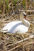 Cisne, países baixos — Foto Stock