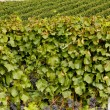 Vineyards, Southern Moravia, Czech Republic — Stock Photo