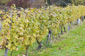 Roter traminer, eberbach, hesse, allemagne — Photo