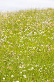 Meadow in blossom — Stock Photo