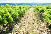 Viñedos, provence, francia — Foto de Stock
