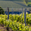 Vineyards near Montsoreau — Stock Photo #3942261