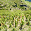 Stock Photo: Grand cru vineyard, Hermitage