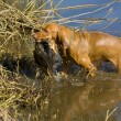 Hunting dog with a catch — Stock Photo