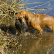 Stock Photo: Hunting dog with catch