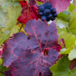 Grapevines — Stock Photo #3942362