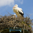 Stork, Netherlands — Stock Photo