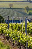 Vineyards near Montsoreau — Stock Photo