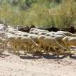 Sheep herd, Badajoz Province, Extremadura, Spain - Stock Photo