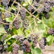 Stock Photo: Grapevines in vineyard