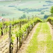 Vineyard, Austria — Stock Photo
