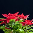 Poinsettia — Stock Photo #3950445