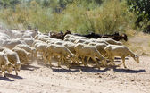 Sheep herd, Badajoz Province, Extremadura, Spain — Stockfoto