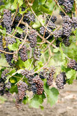 Grapevines in vineyard — Stock Photo