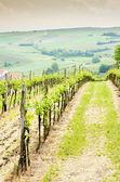 Vineyard, Austria — Stock Photo