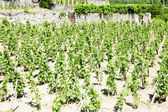 Vineyard, Rhone-Alpes, France — Stock Photo