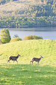 Deer at Loch Tay, Highlands, Scotland — Stock Photo