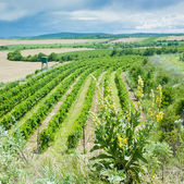 Vineyard, Czech Republic — Stock Photo