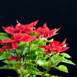 Poinsettia — Stock Photo #4142138