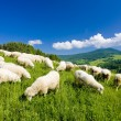 Sheep herd — Stock Photo #4167443