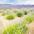 Lavender field, Provence — Stock Photo #4167548