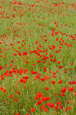 Meadow of red poppies — Stockfoto