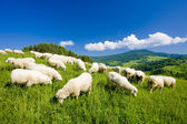 Sheep herd — Stock Photo