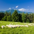 Stock Photo: Sheep herd