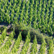 Grand cru vineyard, C — Stock Photo #4204742