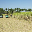 Sugar cane harvest, Sancti Sp - Stock Photo