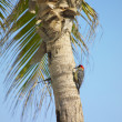 Woodpecker, Mar - Foto de Stock